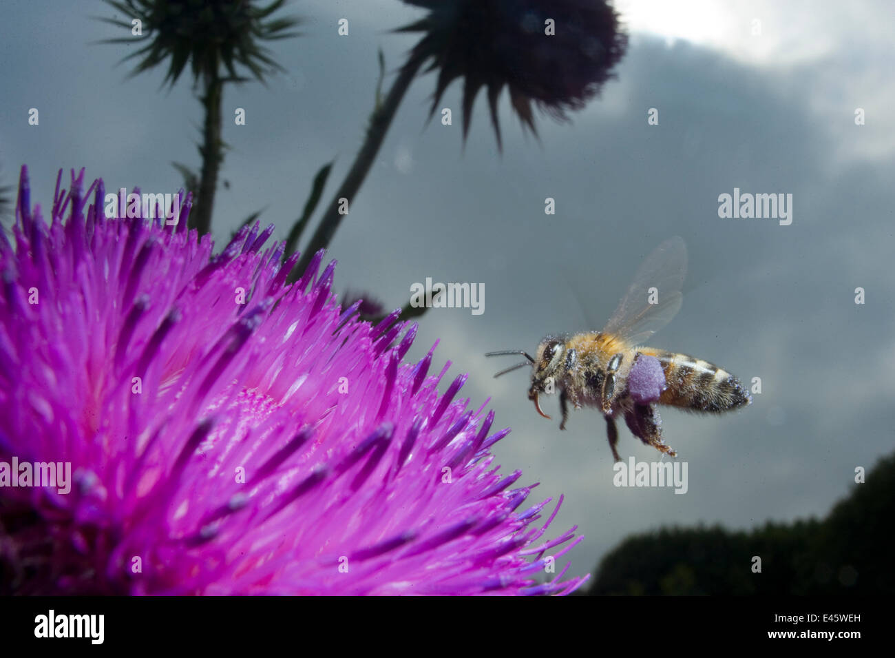 Honey bee (Apis mellifera) hovering over a purple flower. Paris, France - Stock Image