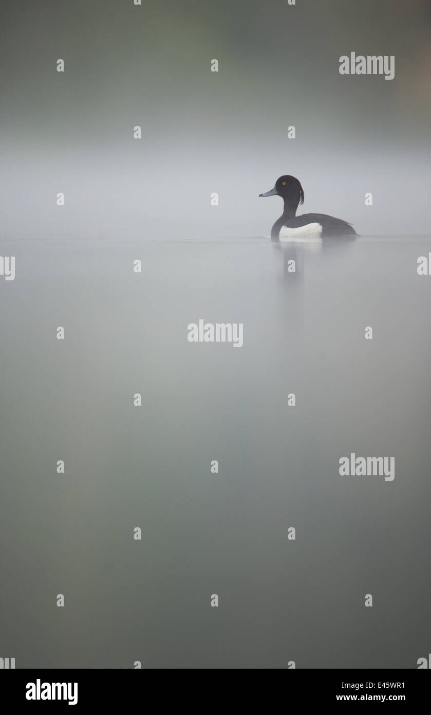 Tufted duck (Aythya fuligula) male on a tranquil lake in dawn mist. Derbyshire, UK, May.   (non-ex) - Stock Image