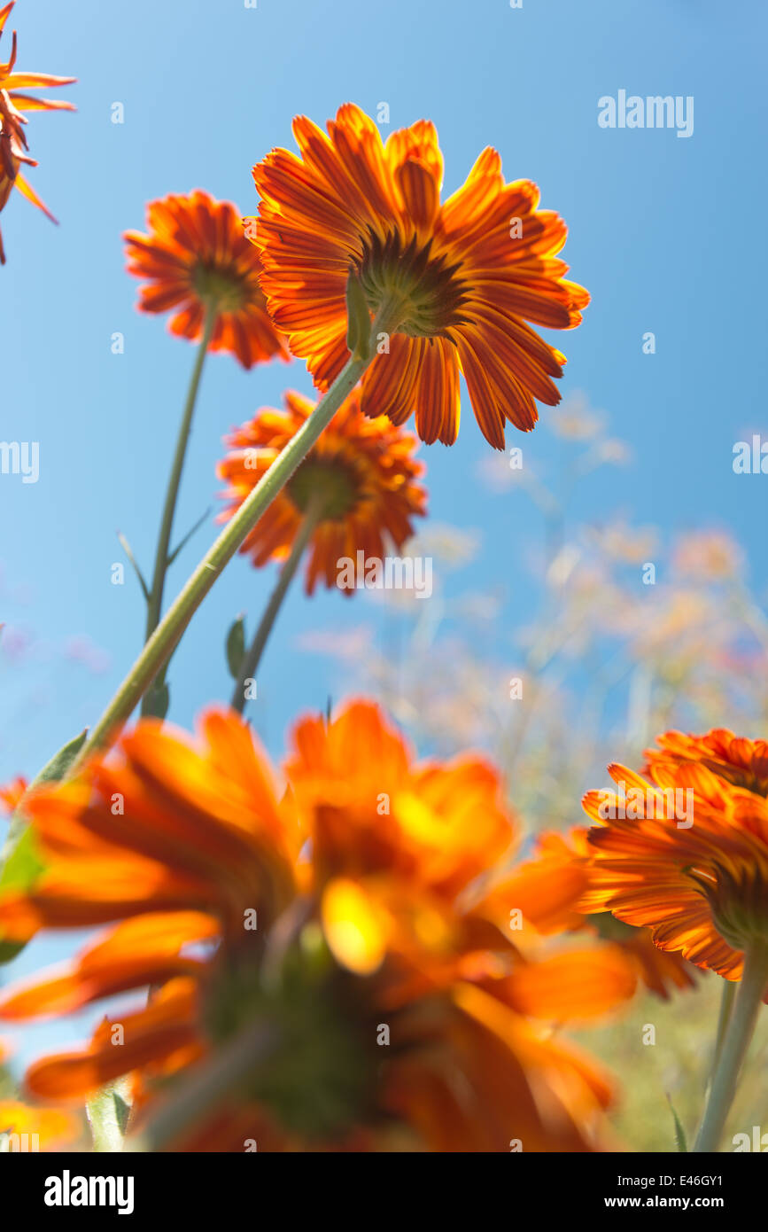 Bright Vivid Colors Of Orange Marigold Flowers Contrast With Blue