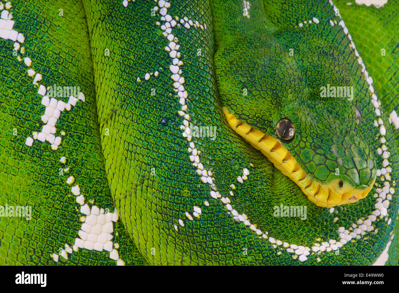 Amazon Tree Boa Stock Photos & Amazon Tree Boa Stock Images - Alamy