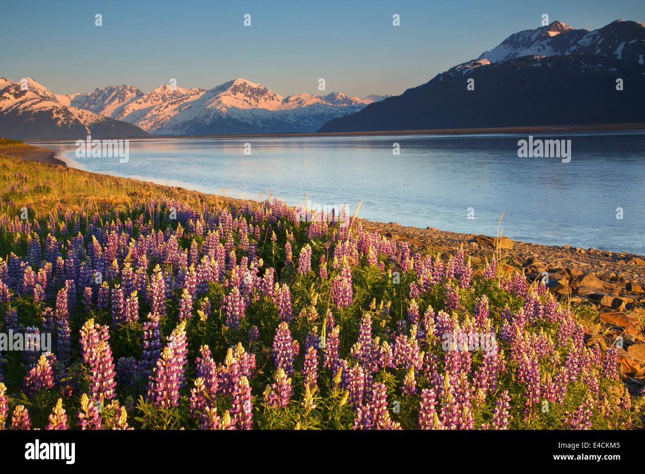 A field of lupine along Turnagain Arm, Chugach National Forest, Alaska. - Stock Image