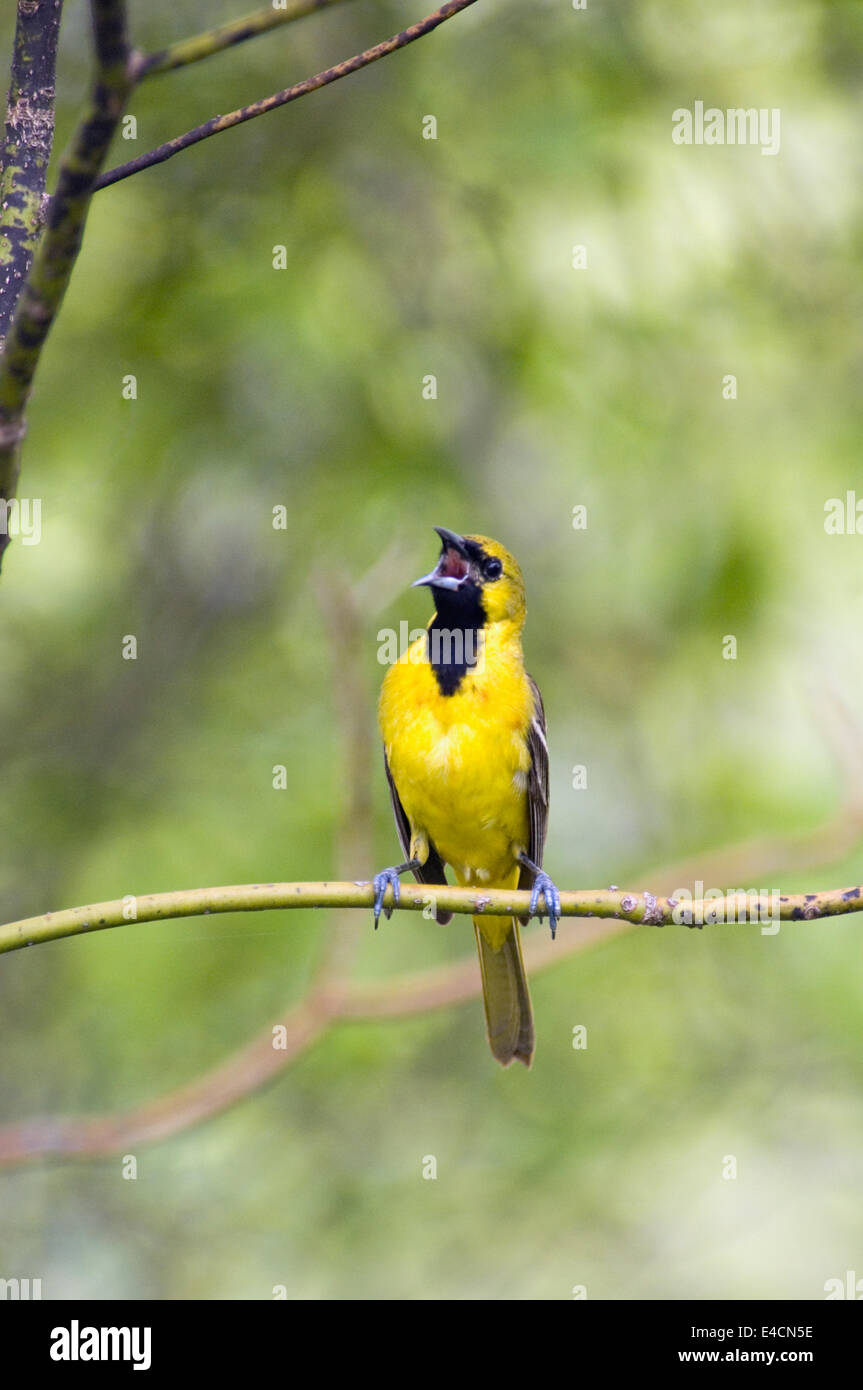 Juvenile Male Orchard Oriole Singing - Stock Image