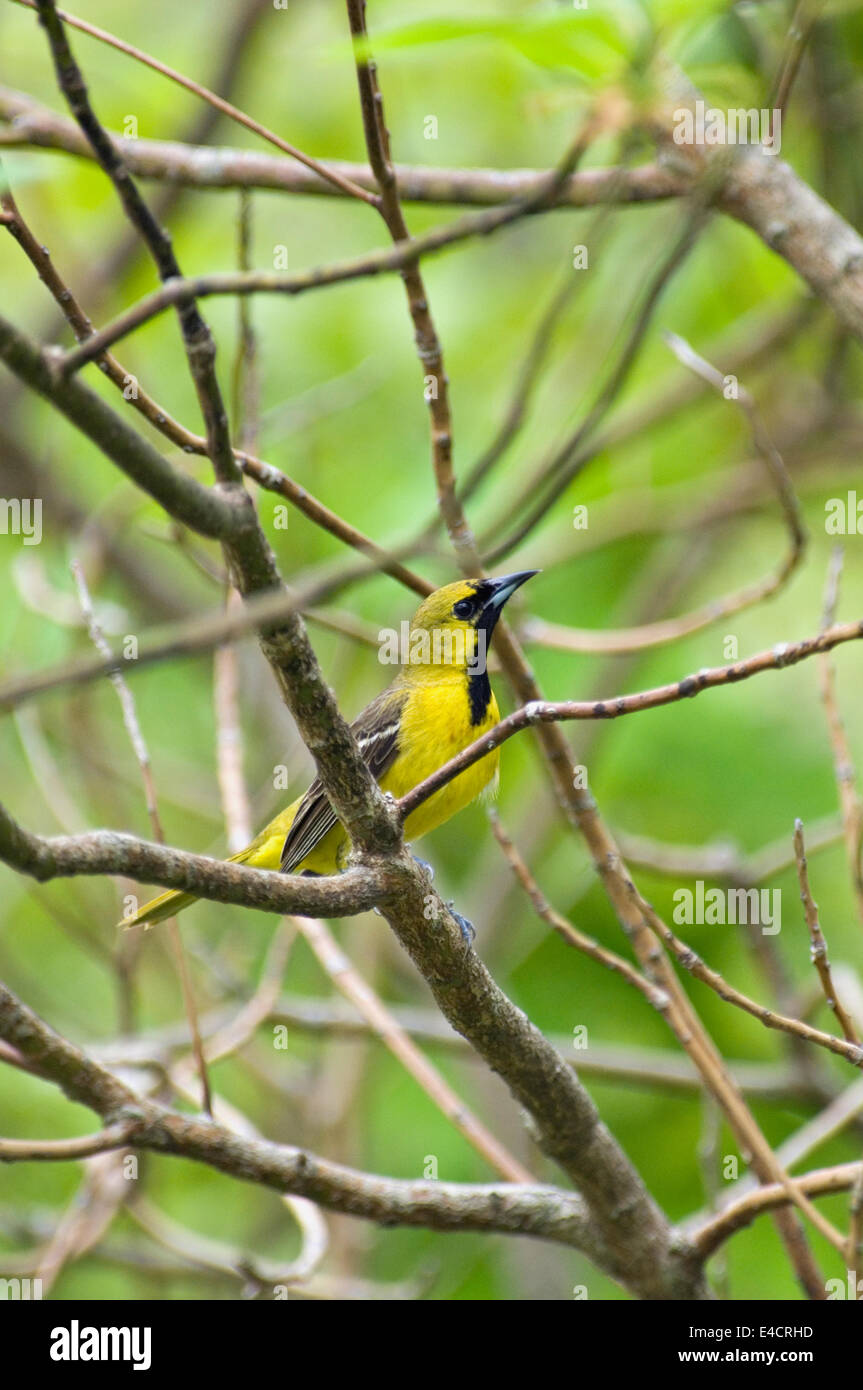 Juvenile Male Orchard Oriole - Stock Image