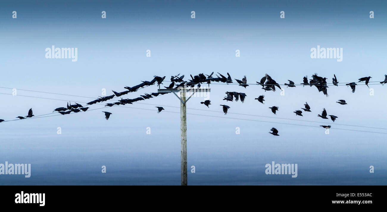 A mixed flock of Jackdaws and Rooks on the wires at Gortconney Co ...