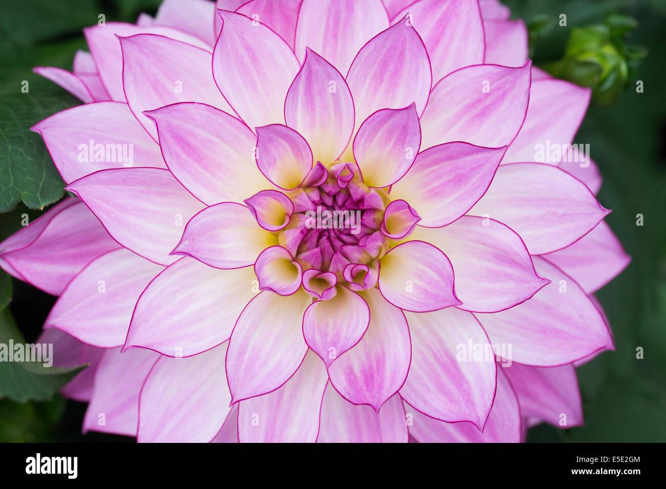 Dahlia Oriental Dream Waterlily Dahlia Flower Stock Photo