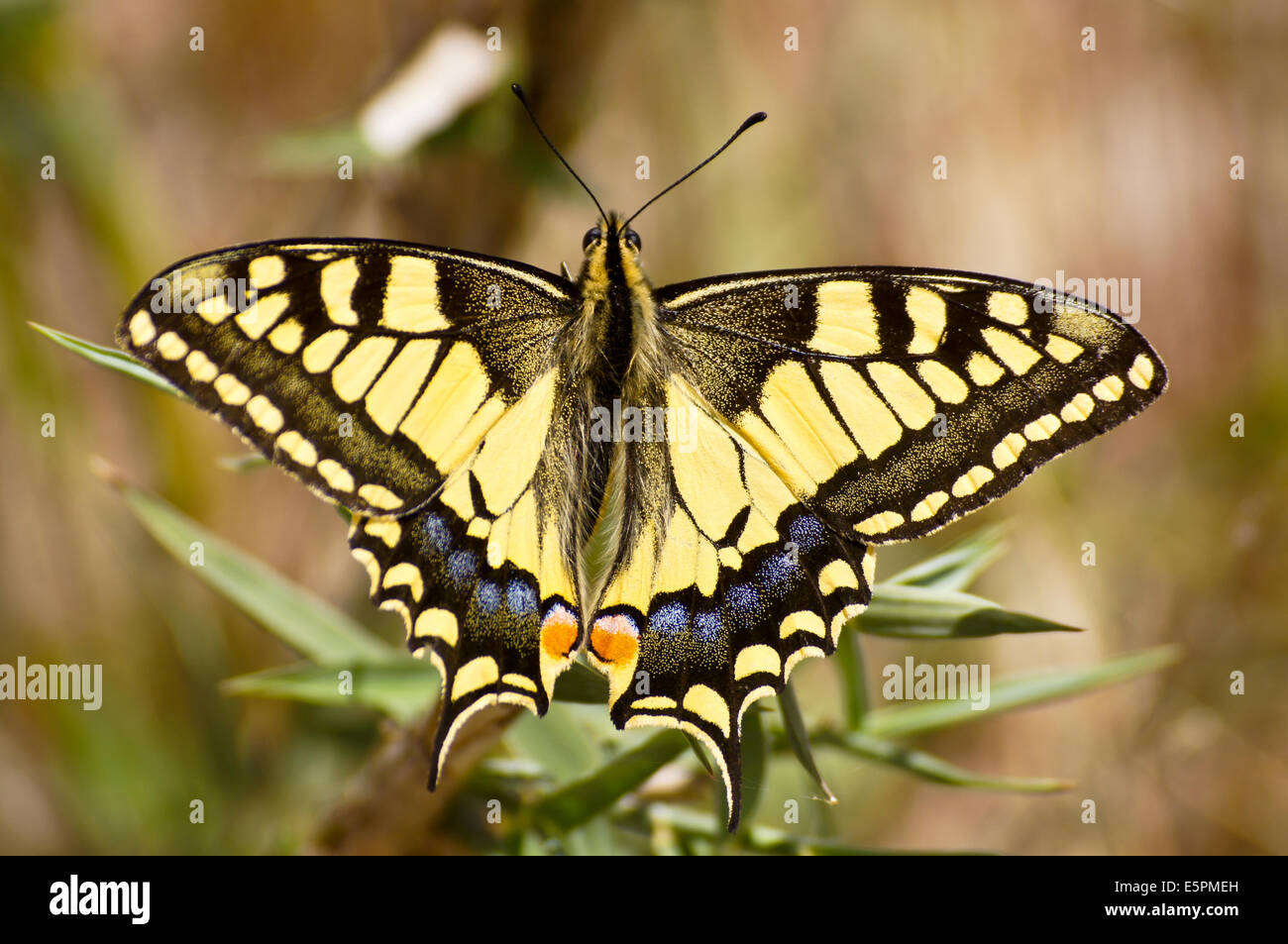 swallowtail-butterfly-papilio-machaon-kos-greece-E5PMEH.jpg