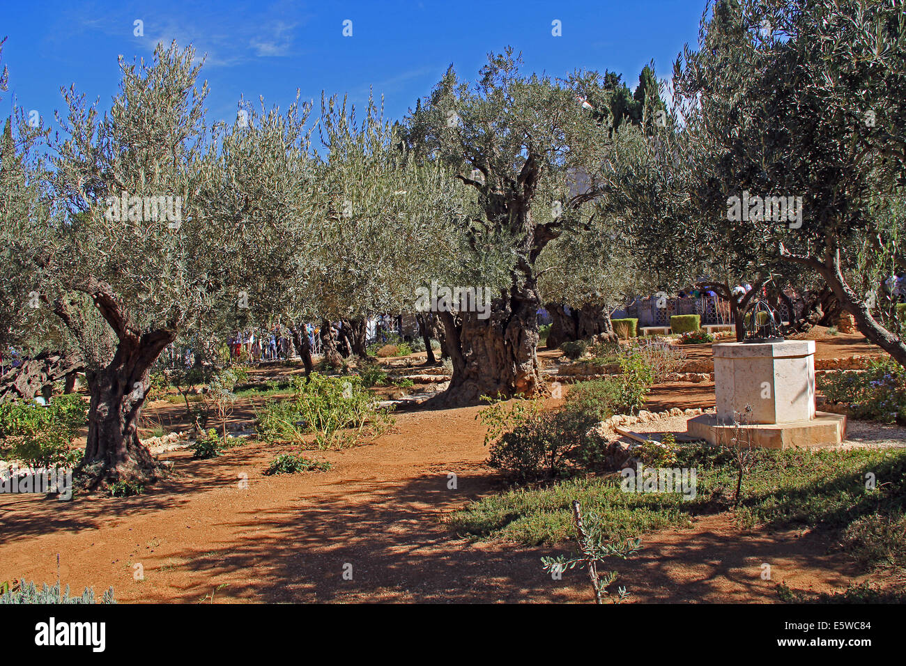 Olive trees within the Garden of Gethsemane which means oil press in ...