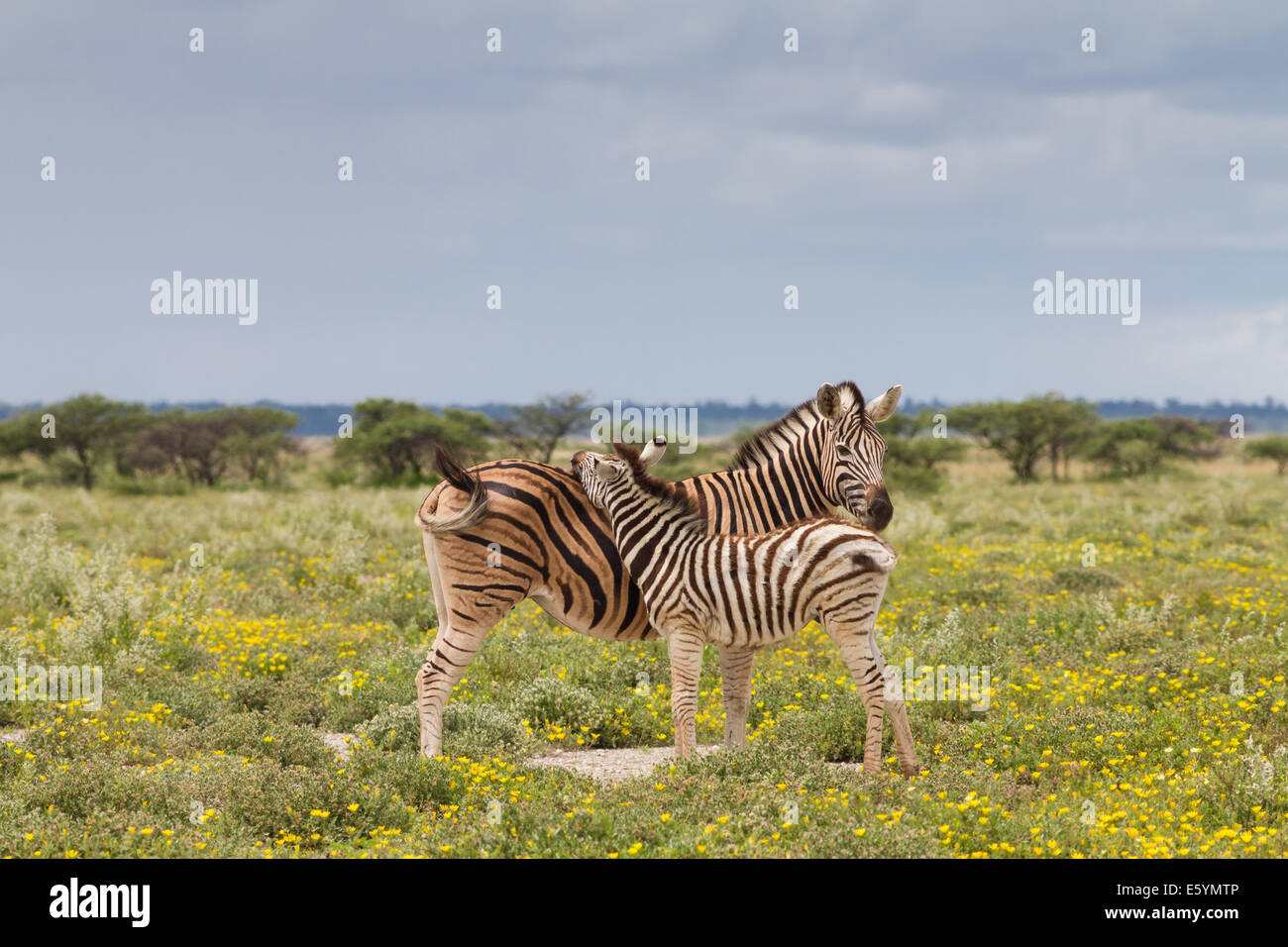 Young zebra and her mother, Etosha National Park, Namibia - Stock Image