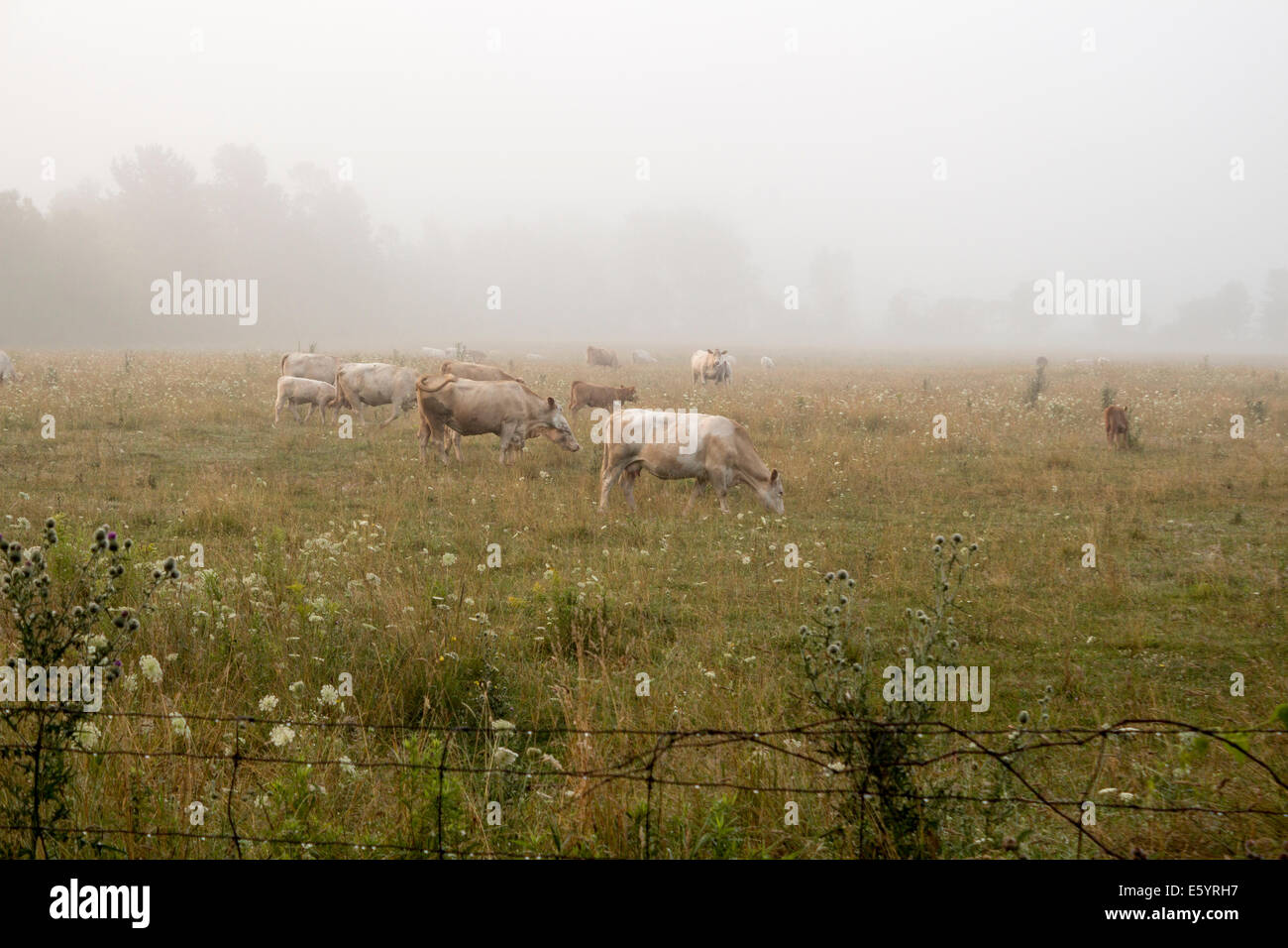 cows-grazing-in-the-fog-in-the-early-morning-mist-in-farm-field-E5YRH7.jpg