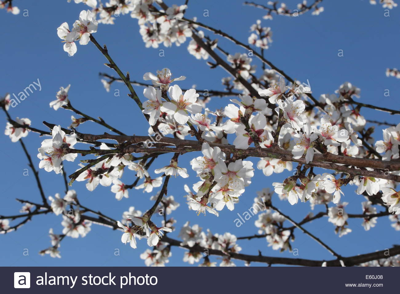 almond tree blooming in spring south of france stock photo