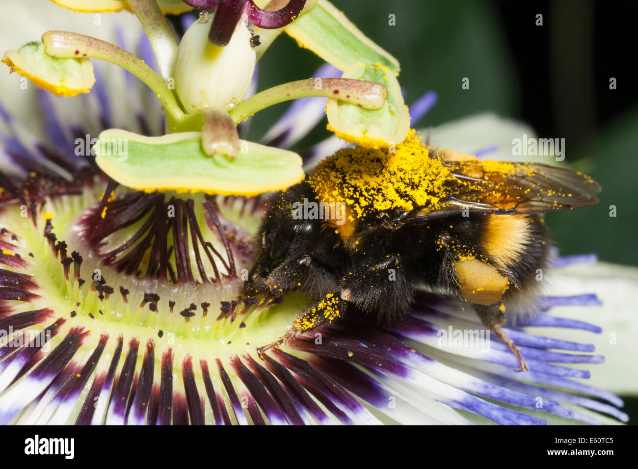 pollen-covered-garden-bumblebee-bombus-hortorum-feeding-on-the-hardy-E60TC5.jpg
