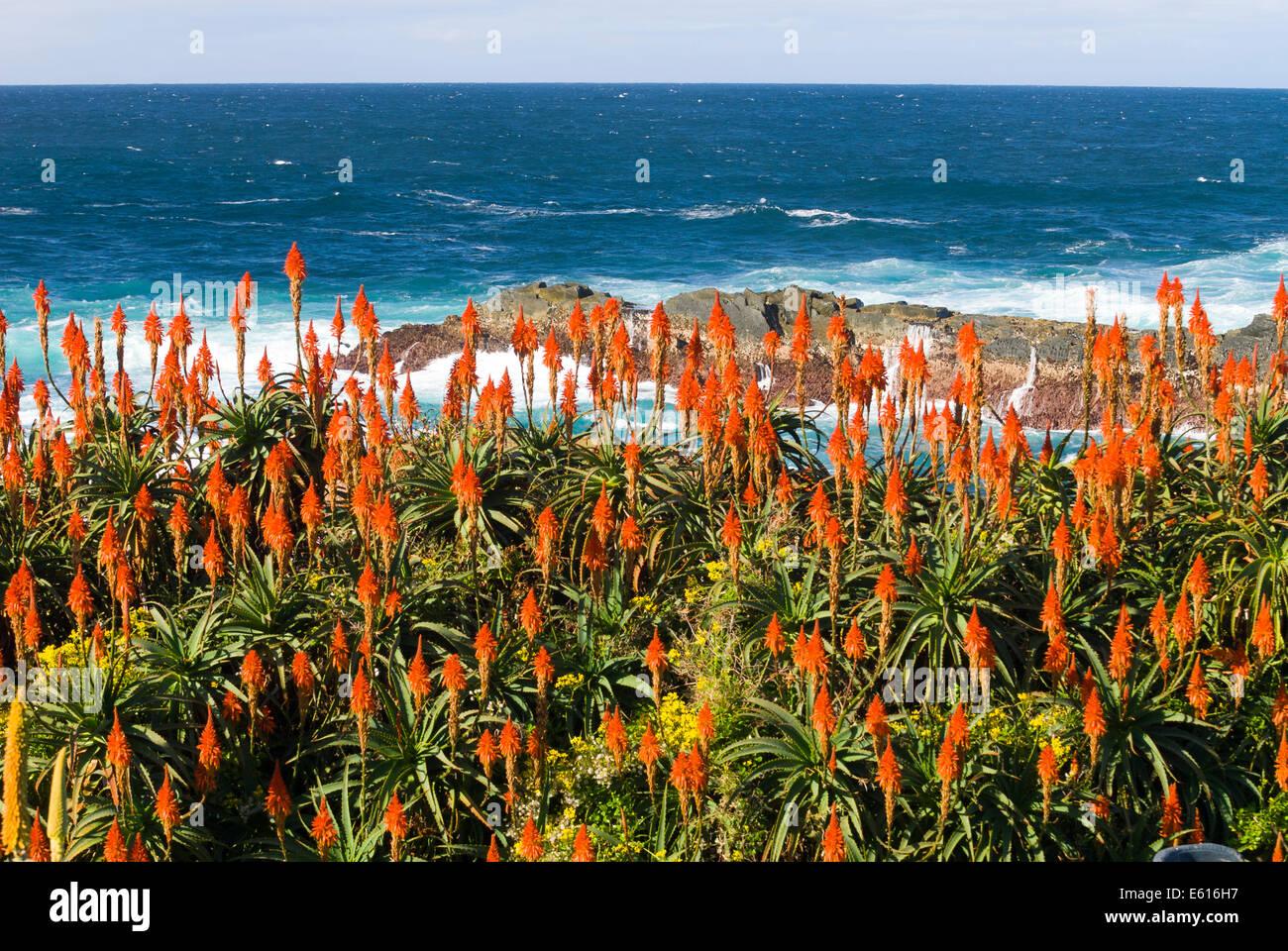 flowering krantz aloe or candelabra aloe aloe arborescens on the coast of the indian ocean garden route national park cacadu - Ocean Garden