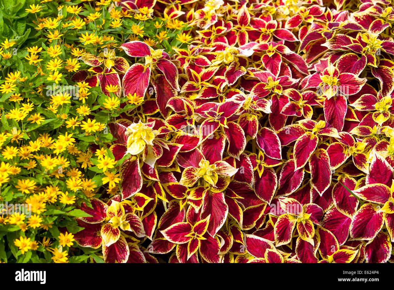 Coleus stock photos coleus stock images alamy colorful flower bed of annual flowers coleus blumel wizard scarlet melampodium izmirmasajfo Image collections