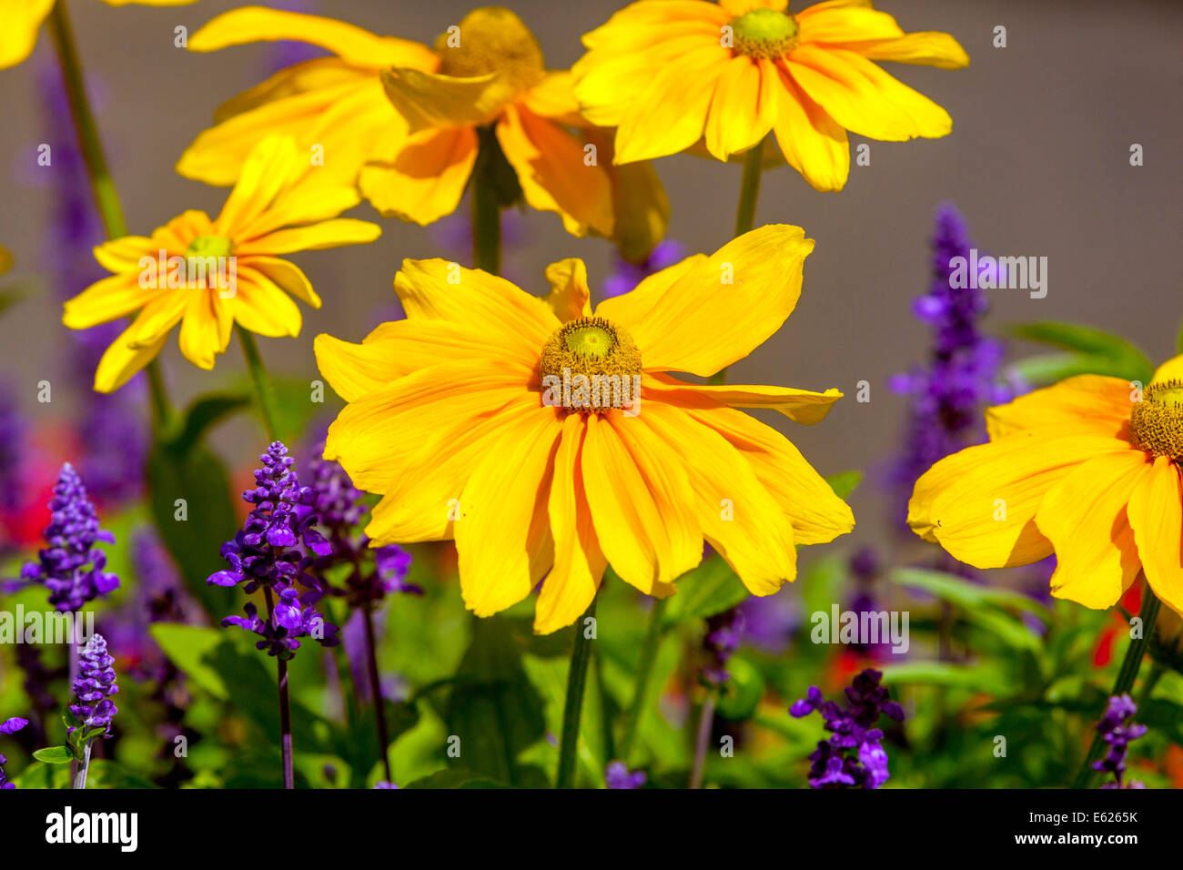 Colorful flower bed of annual flowers rudbeckia hirta salvia stock colorful flower bed of annual flowers rudbeckia hirta salvia spendens izmirmasajfo Image collections
