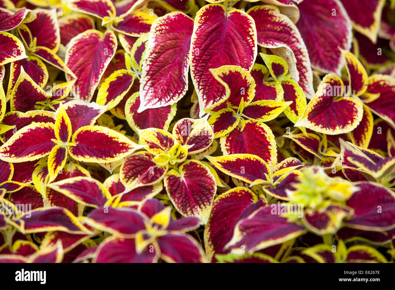 Coleus stock photos coleus stock images alamy colorful flower bed of annual flowers coleus blumel wizard scarlet stock image izmirmasajfo Image collections