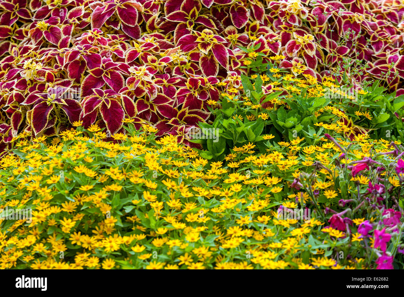 Colorful flower bed of annual flowers coleus blumel wizard stock colorful flower bed of annual flowers coleus blumel wizard scarlet melampodium izmirmasajfo Image collections