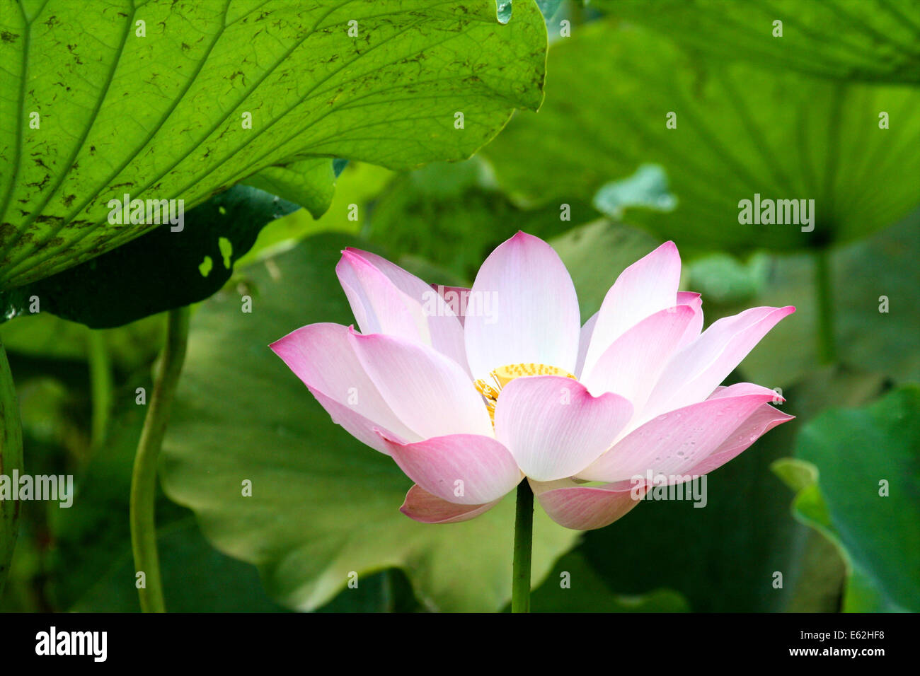 A Lotus Flower Grows In The Swamps Outside Siem Reap In Cambodia