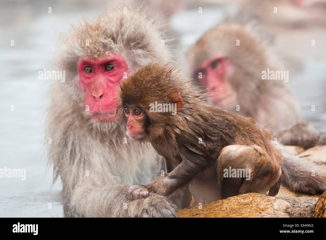 Japanese macaque (Macaca fuscata)/ Snow monkey, Joshin-etsu National Park, Honshu, Japan - Stock Image