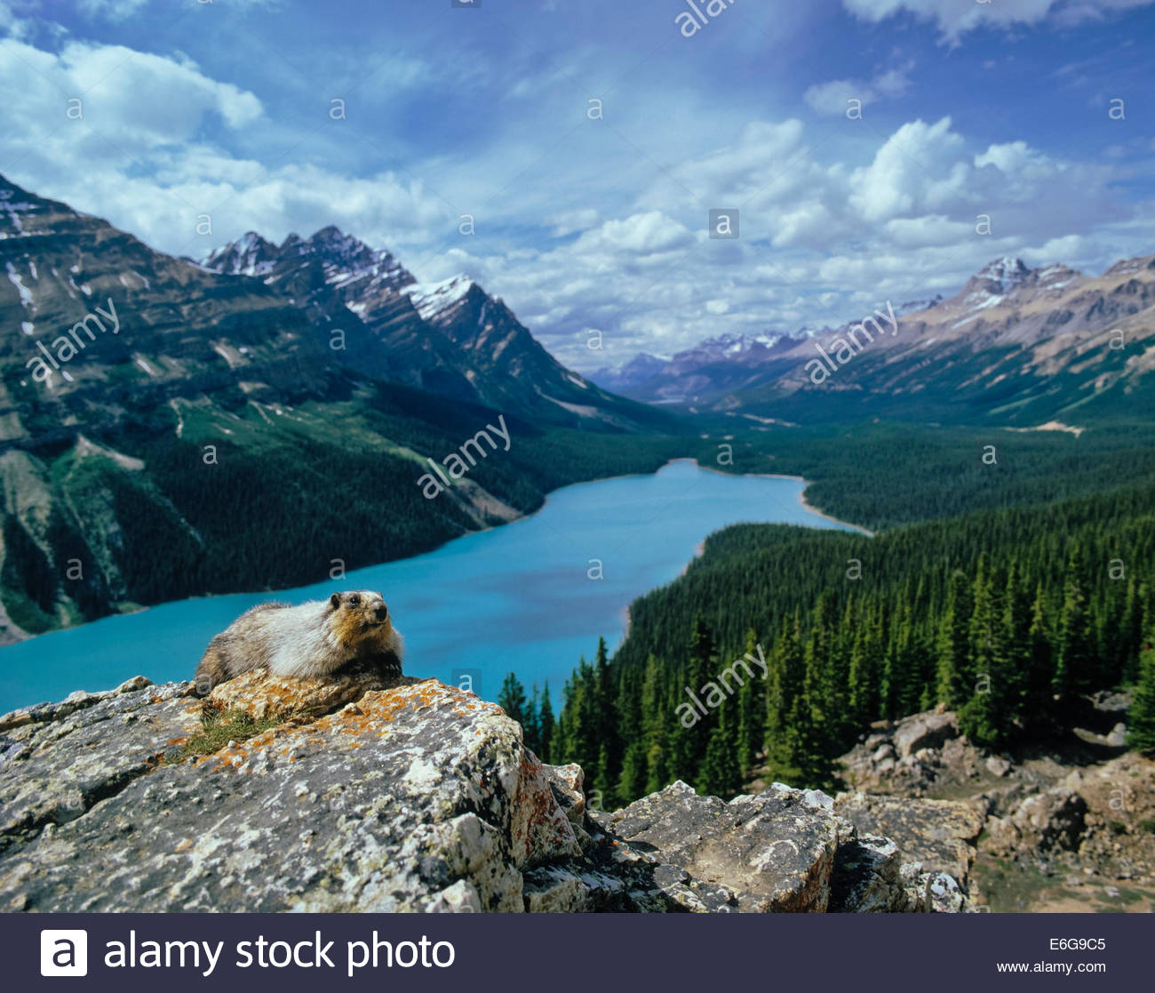 hoary-marmot-above-peyto-lake-and-the-mi