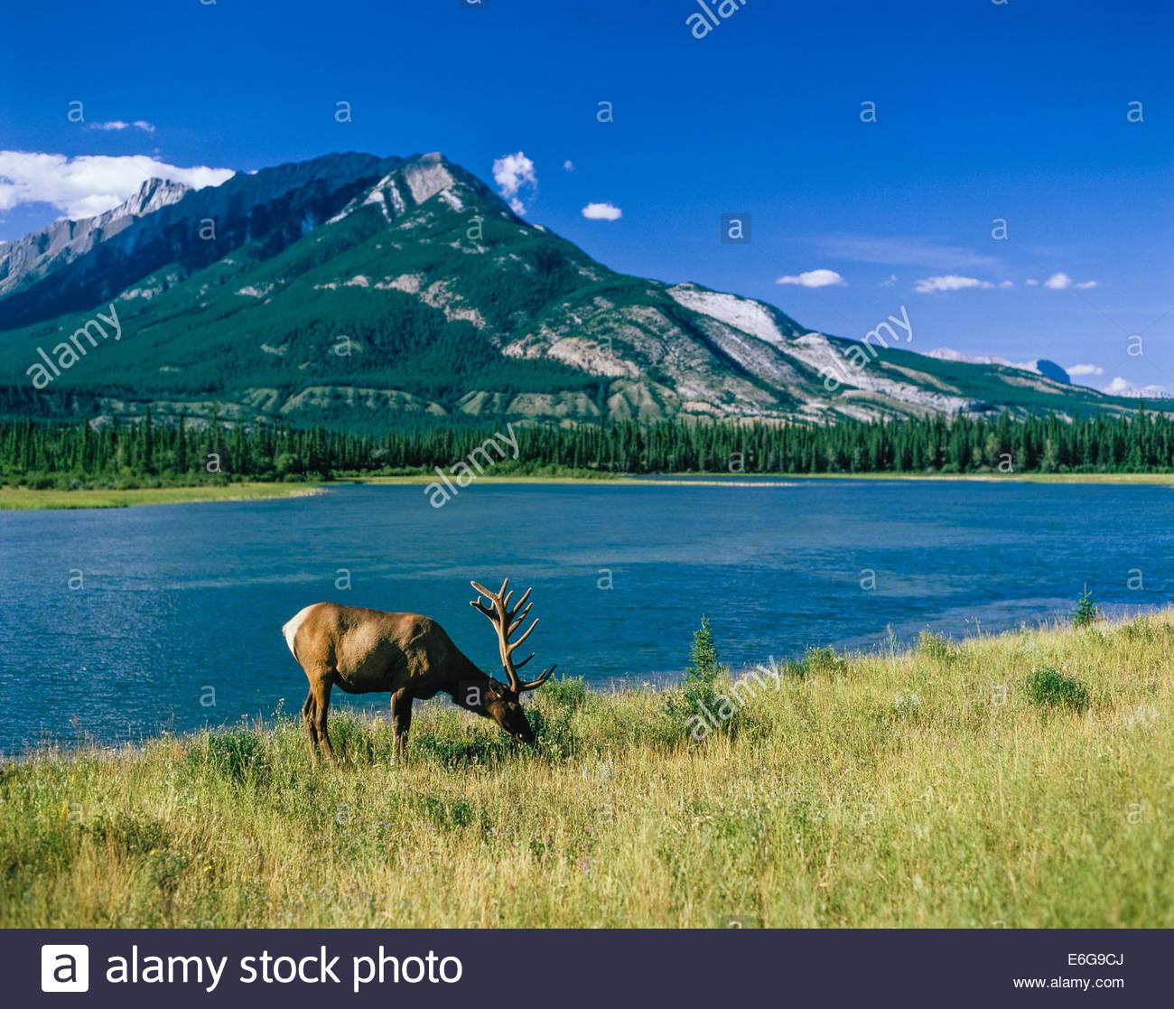 Wapiti or American Elk beside Jasper Lake in Jasper National Park in the Rocky Mountains in Alberta Canada Stock Photo