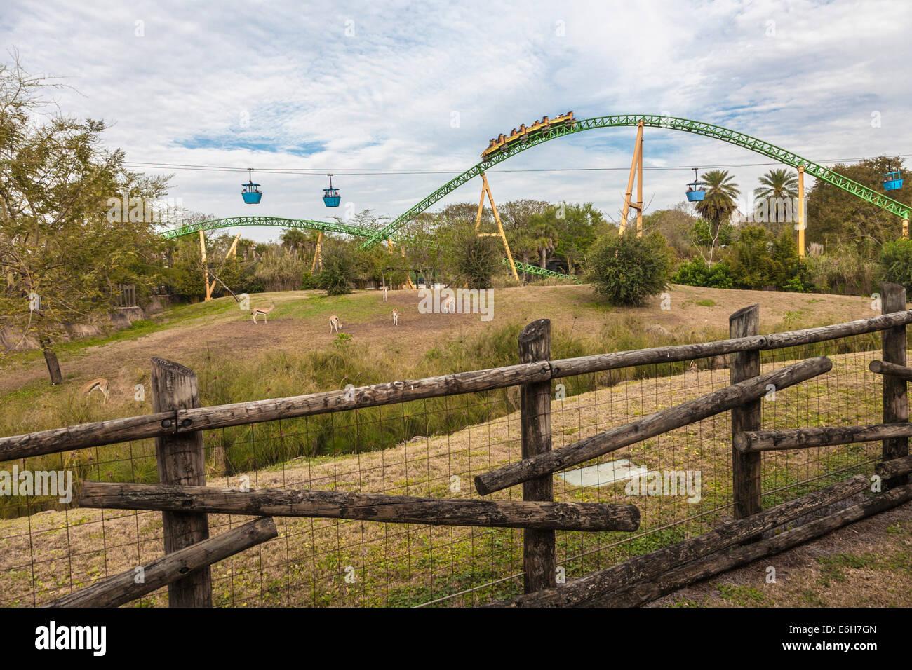 Cheetah Hunt roller coaster winding through animal habitat and past ...