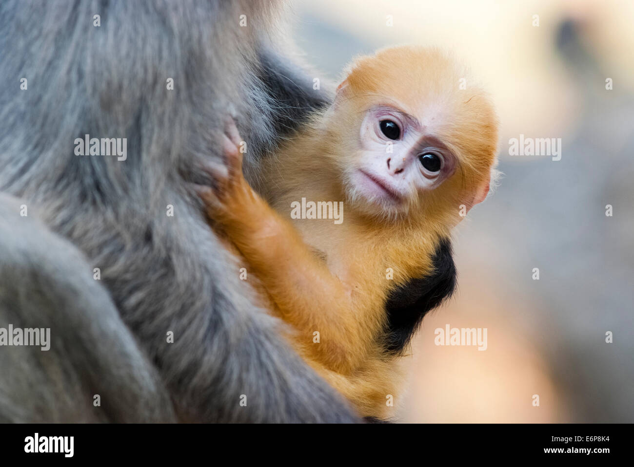 A mother Dusky Leaf monkey and its yellow baby - Stock Image