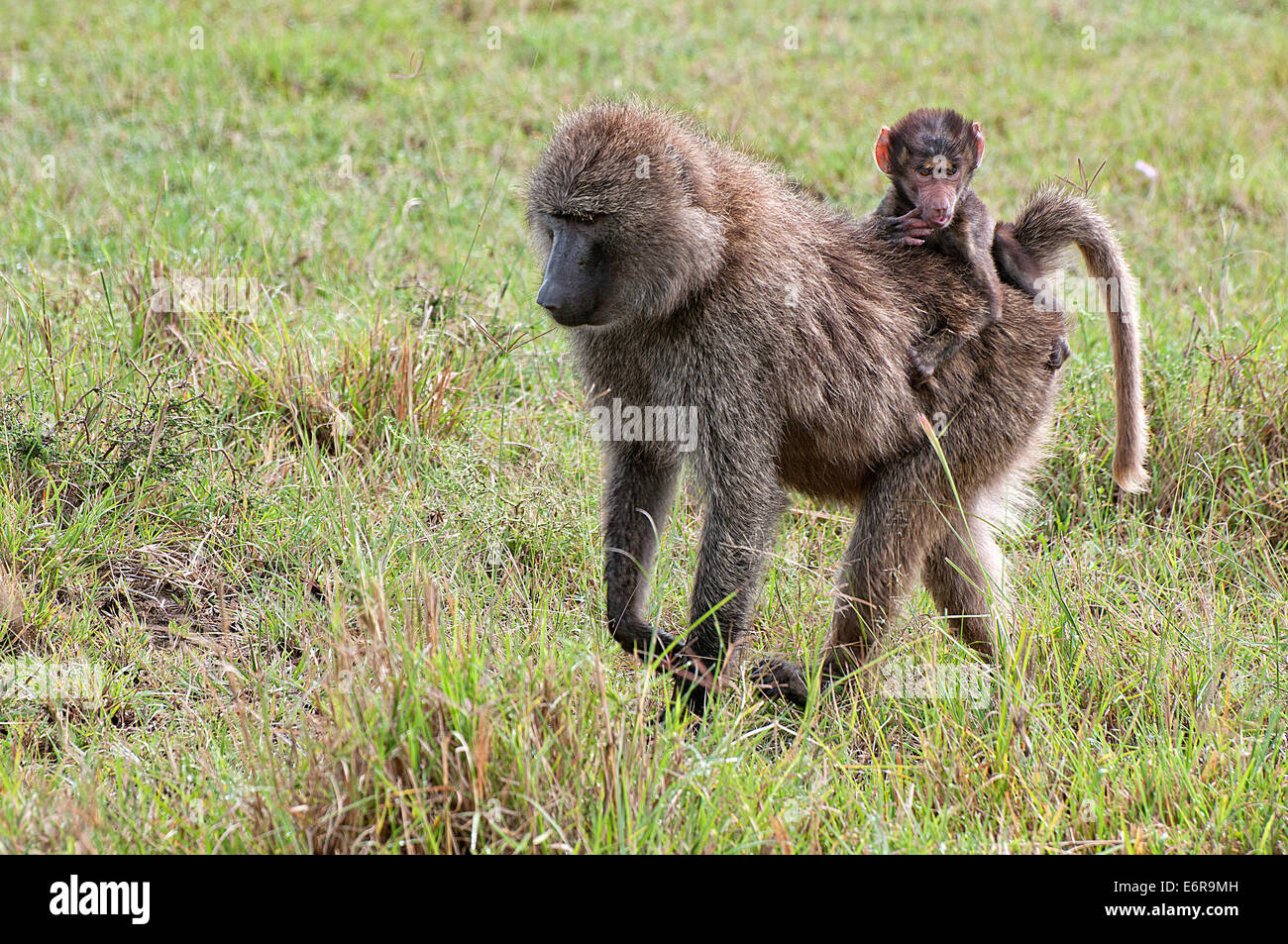 Female Olive Baboon carrying a baby on her back through grassland in Lake Nakuru National Park Kenya East Africa - Stock Image
