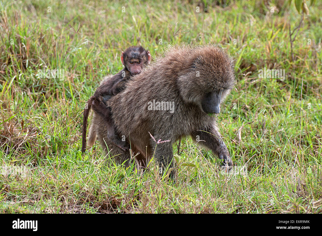 Female Olive Baboon carrying a baby on her back whilst feeding in grassland in Lake Nakuru National Park Kenya East - Stock Image