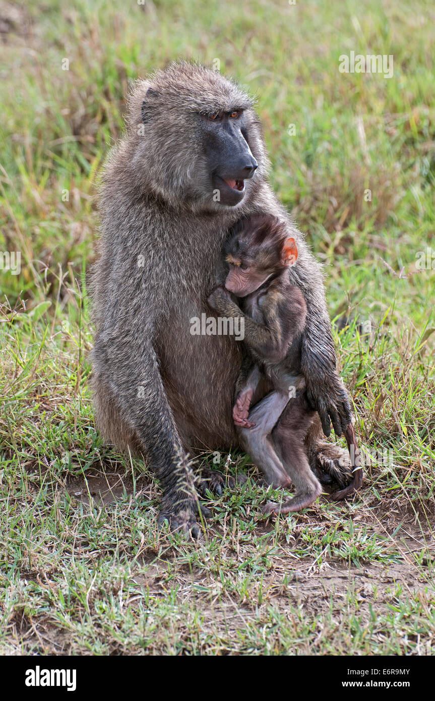 Female Olive Baboon cuddling her baby whilst sitting in grassland in Lake Nakuru National Park Kenya East Africa - Stock Image