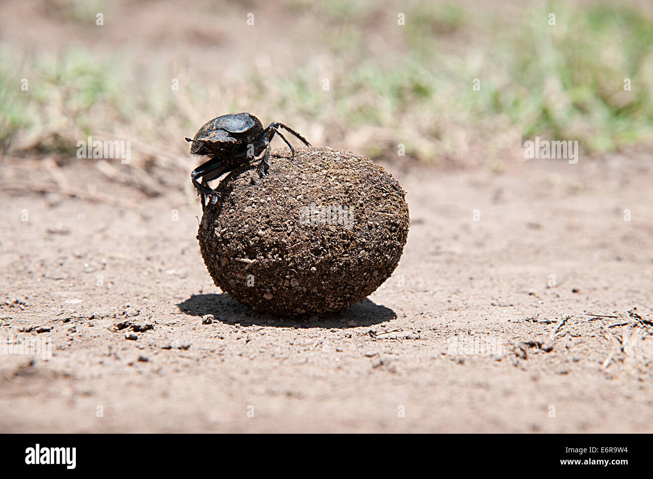 Dung beetle rolling ball of dung faeces in Lake Nakuru National Park Kenya East Africa - Stock Image