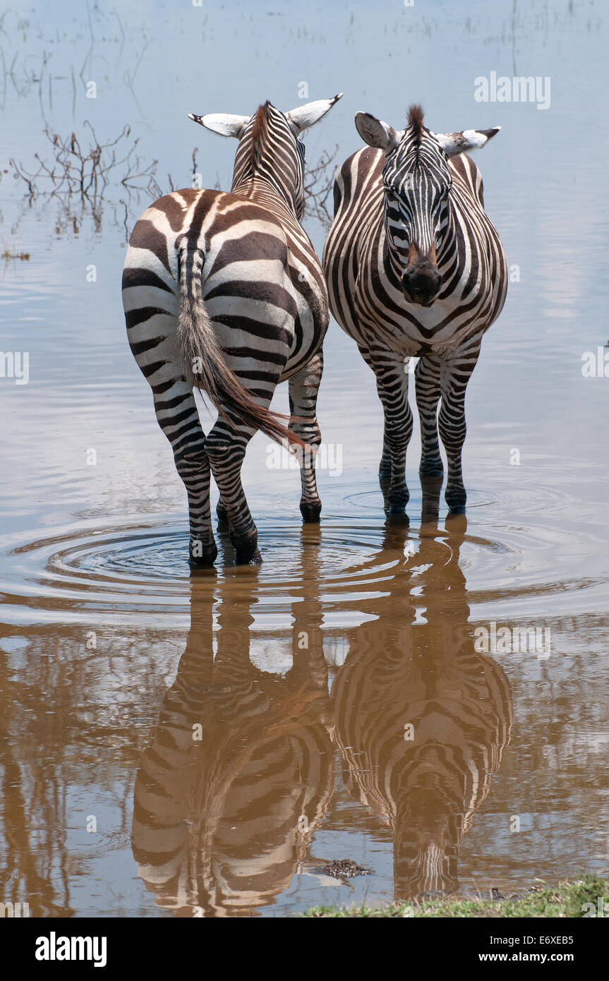 Two Common Zebra stand side by side in shallow flood water at lake edge in Lake Nakuru National Park Kenya East - Stock Image