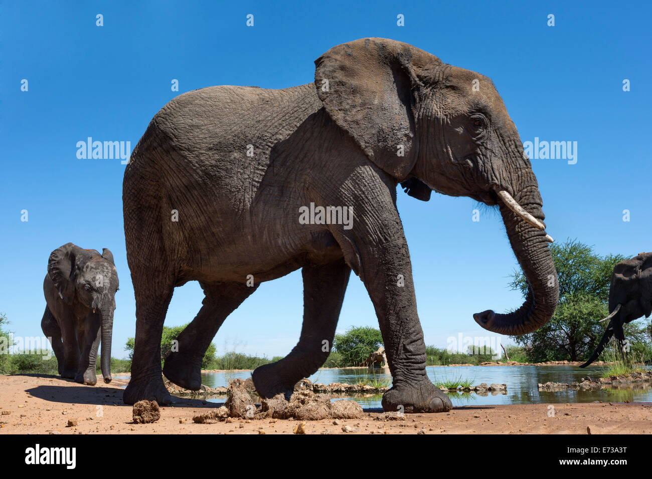 African elephants (Loxodonta africana) at waterhole, Madikwe Game Reserve, North West Province, South Africa, Africa - Stock Image