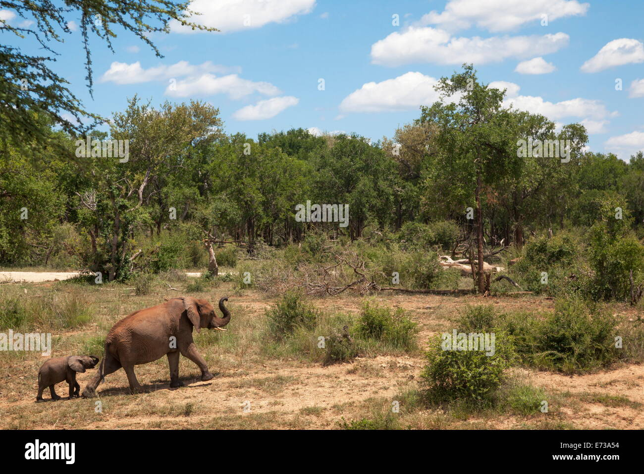 African elephants (Loxodonta africana) heading off from the  water, Madikwe reserve, North West Province, South - Stock Image