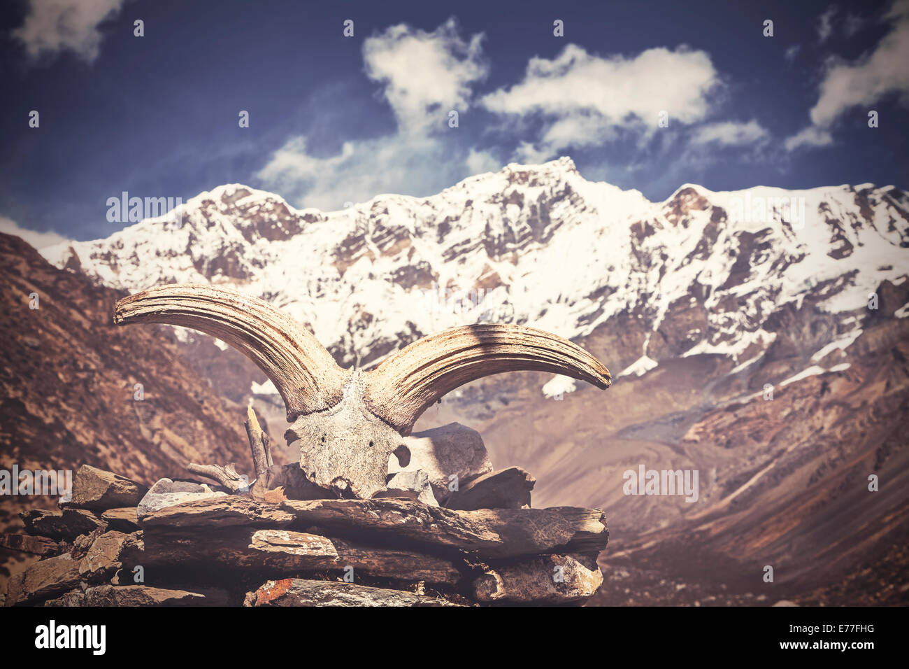 Vintage picture of yak's skull with Himalaya mountains in background, Nepal - Stock Image