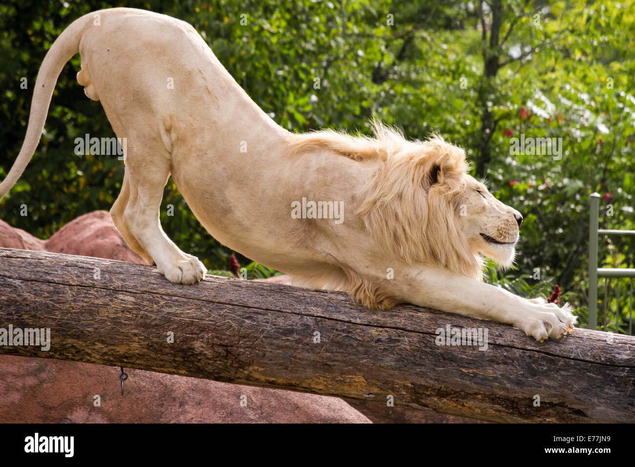 white-lion-stretching-and-smiling-on-a-log-at-the-toronto-zoo-E77JN9.jpg