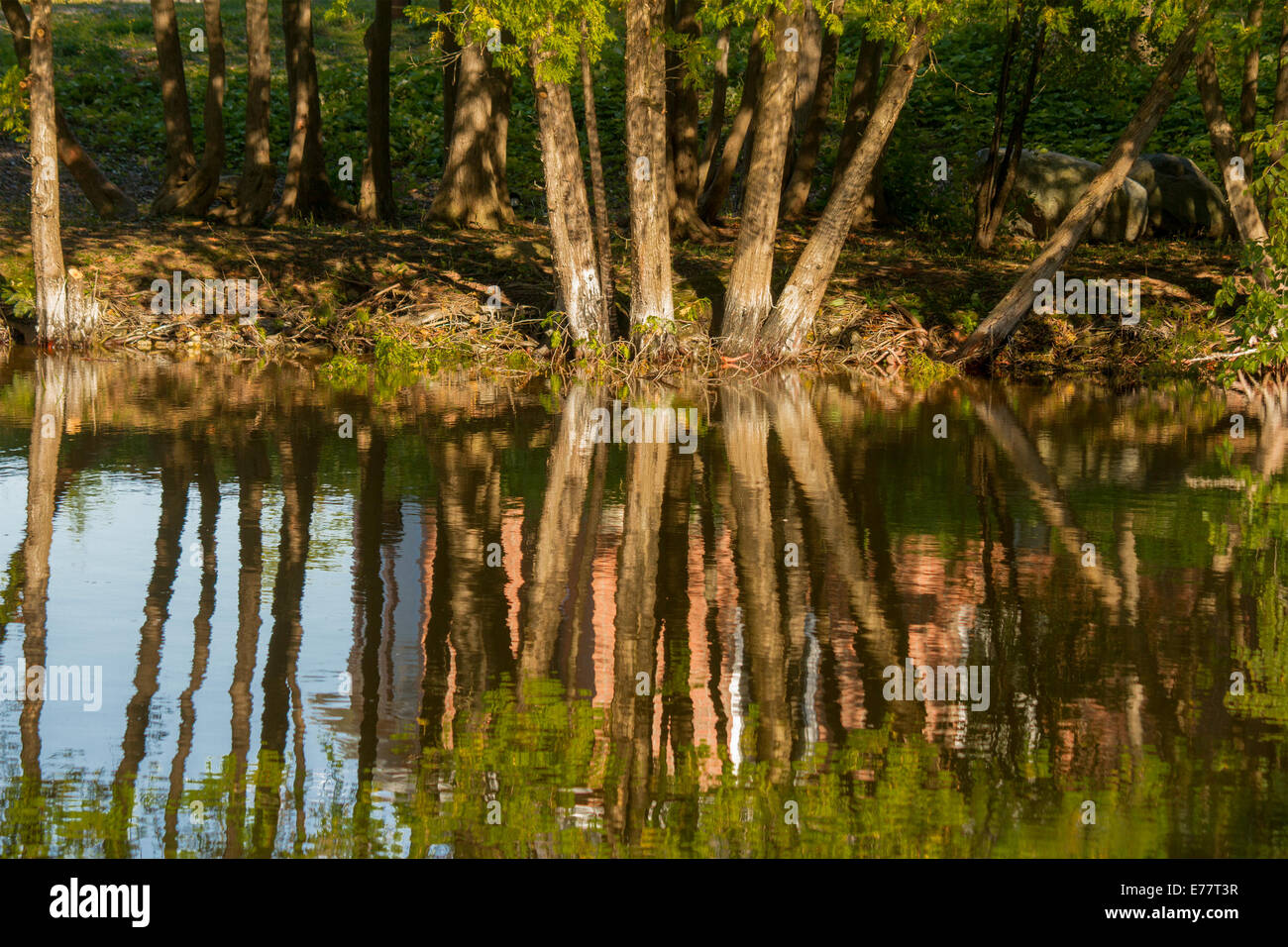 trees-reflecting-in-the-scugog-river-in-lindsay-kawartha-lakes-ontario-E77T3R.jpg