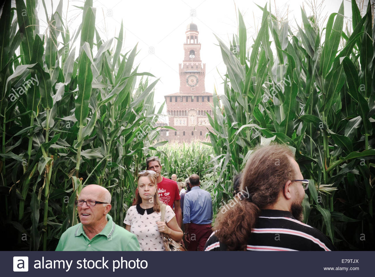 Sforza Castle provides a backdrop amongst a field of corn, an exhibit at Expo Gate, part of Expo Milano 2015. Milan,Stock Photo