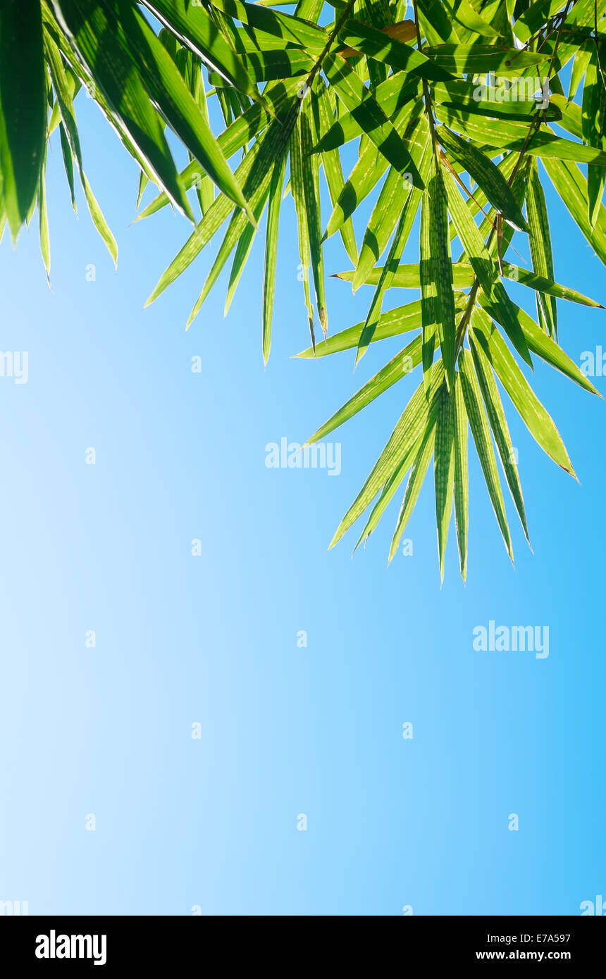 Green bamboo leaves shot against a bright blue morning sky Stock Photo