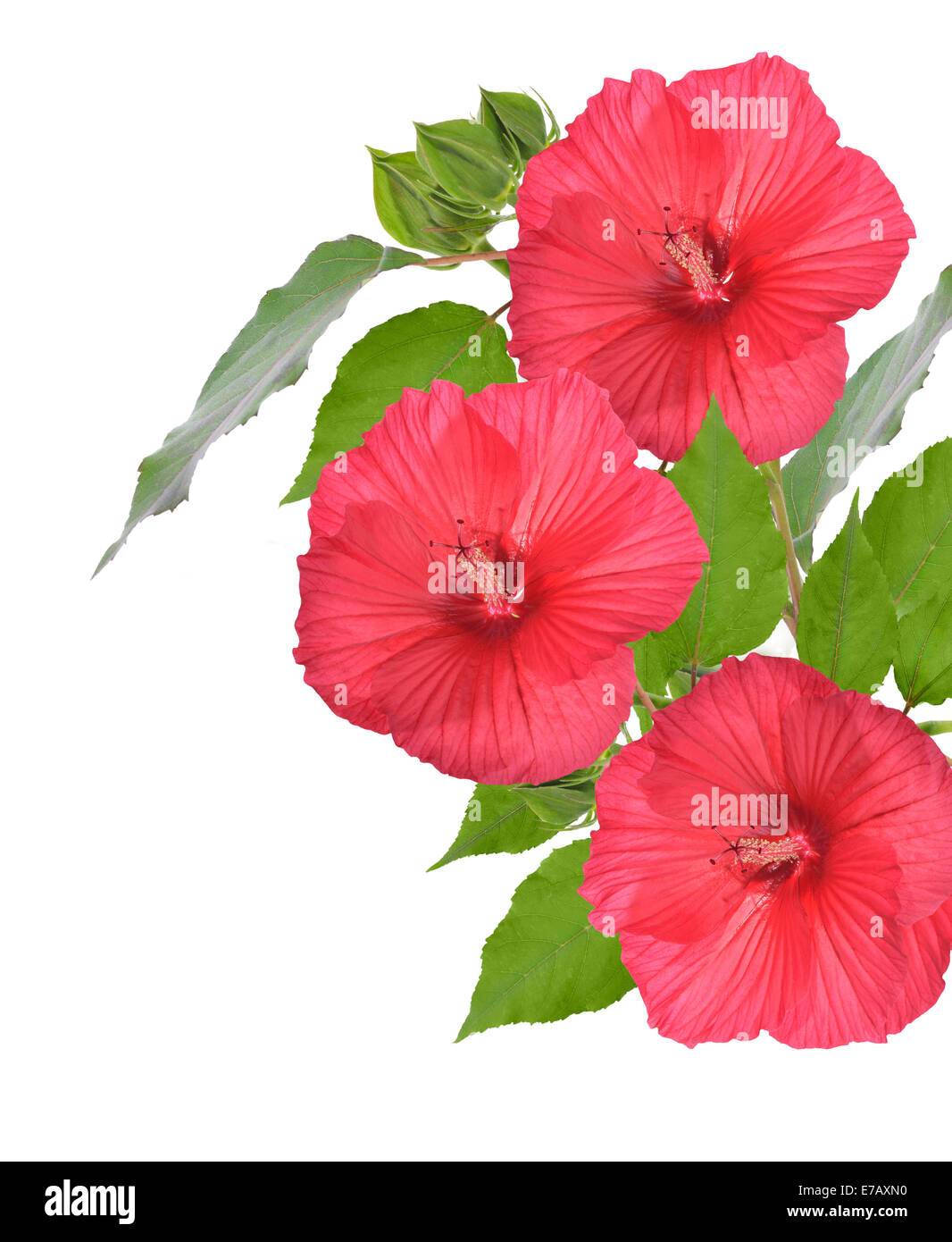 Hibiscus red bush not closeup stock photos hibiscus red bush not red hibiscus flowers isolated on white background stock image izmirmasajfo Image collections