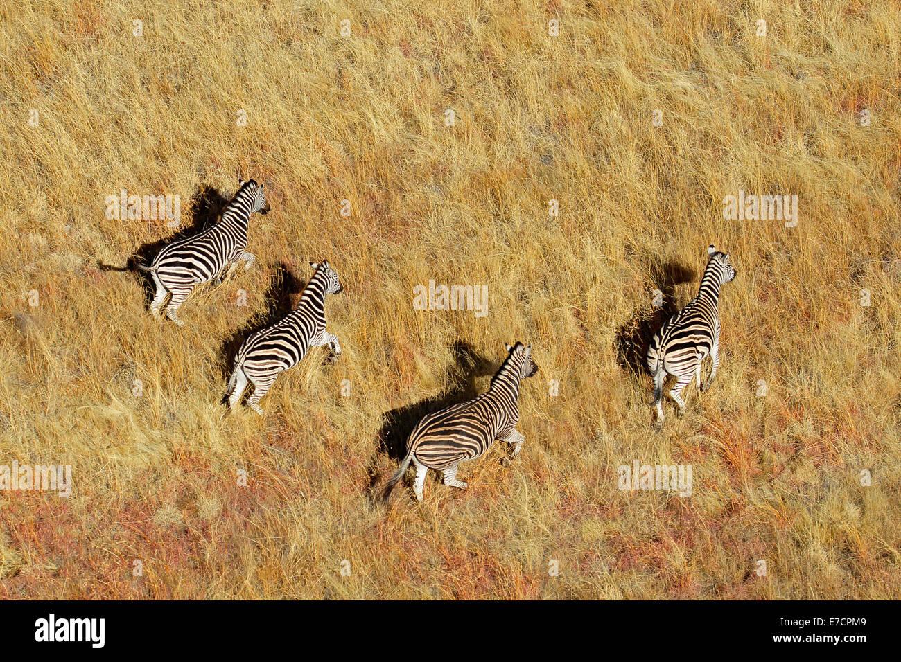 Aerial view of Plains (Burchells) Zebras (Equus burchelli) in grassland, South Africa - Stock Image