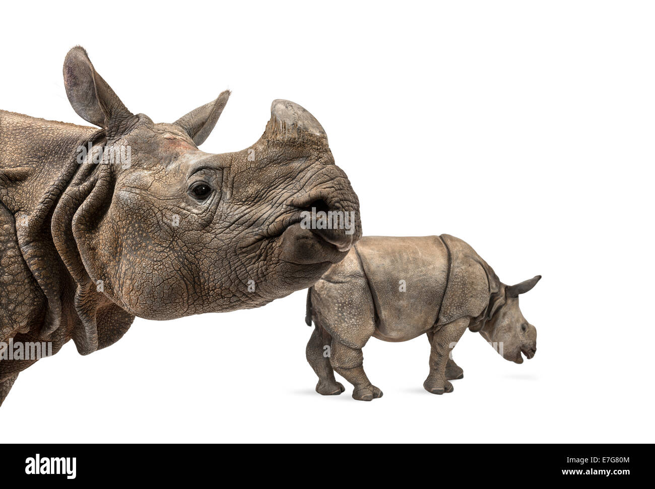 Indian rhinoceros mother and her baby in front of white background - Stock Image