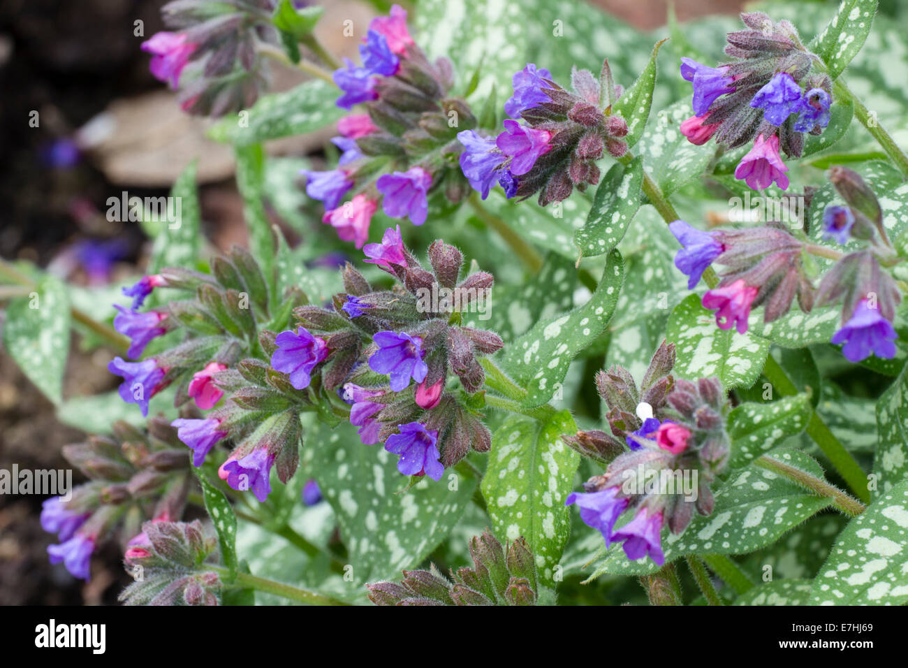 Early Spring Flowers And Spotted Leaves Of The Lungwort Pulmonaria