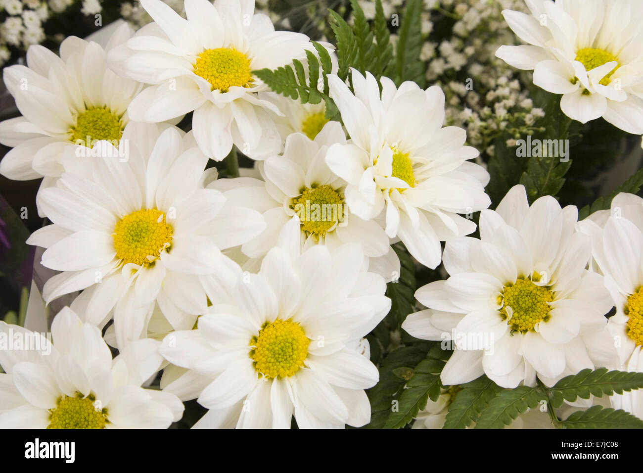Chrysanthemum flowers stock photos chrysanthemum flowers stock close up of freshly cut chrysanthemum flowers for sale at an outdoor market byward izmirmasajfo Images