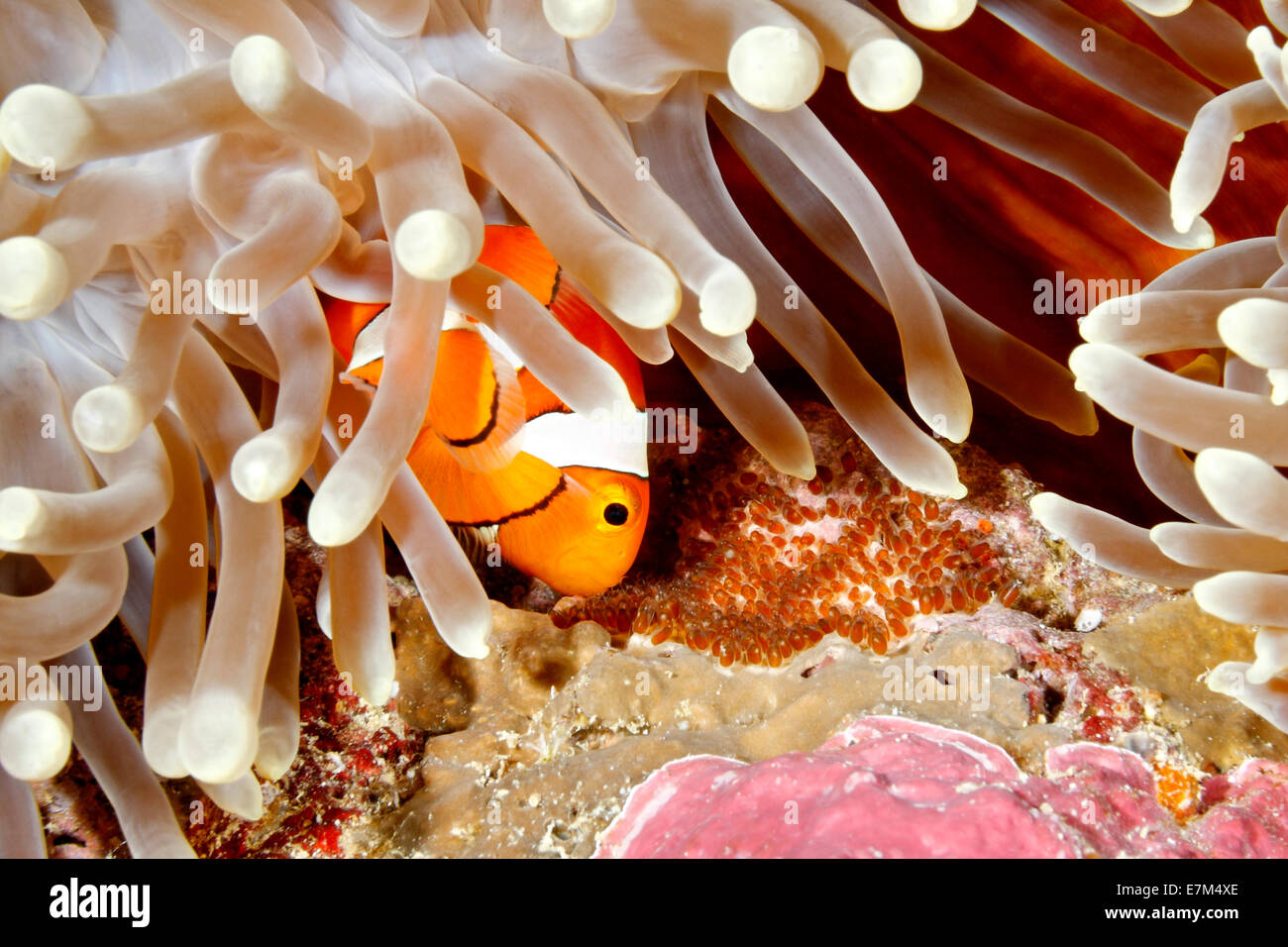 clown-anemonefish-amphiprion-percula-tending-eggs-laid-at-the-base-E7M4XE.jpg
