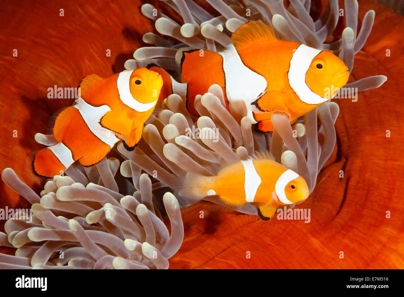 a-family-of-clown-anemonefish-amphiprion-percula-E7M516.jpg