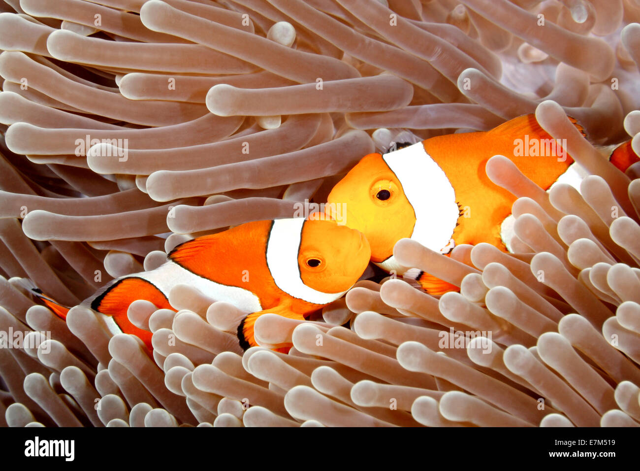 two-clown-anemonefish-amphiprion-percula-together-in-the-tentacles-E7M519.jpg