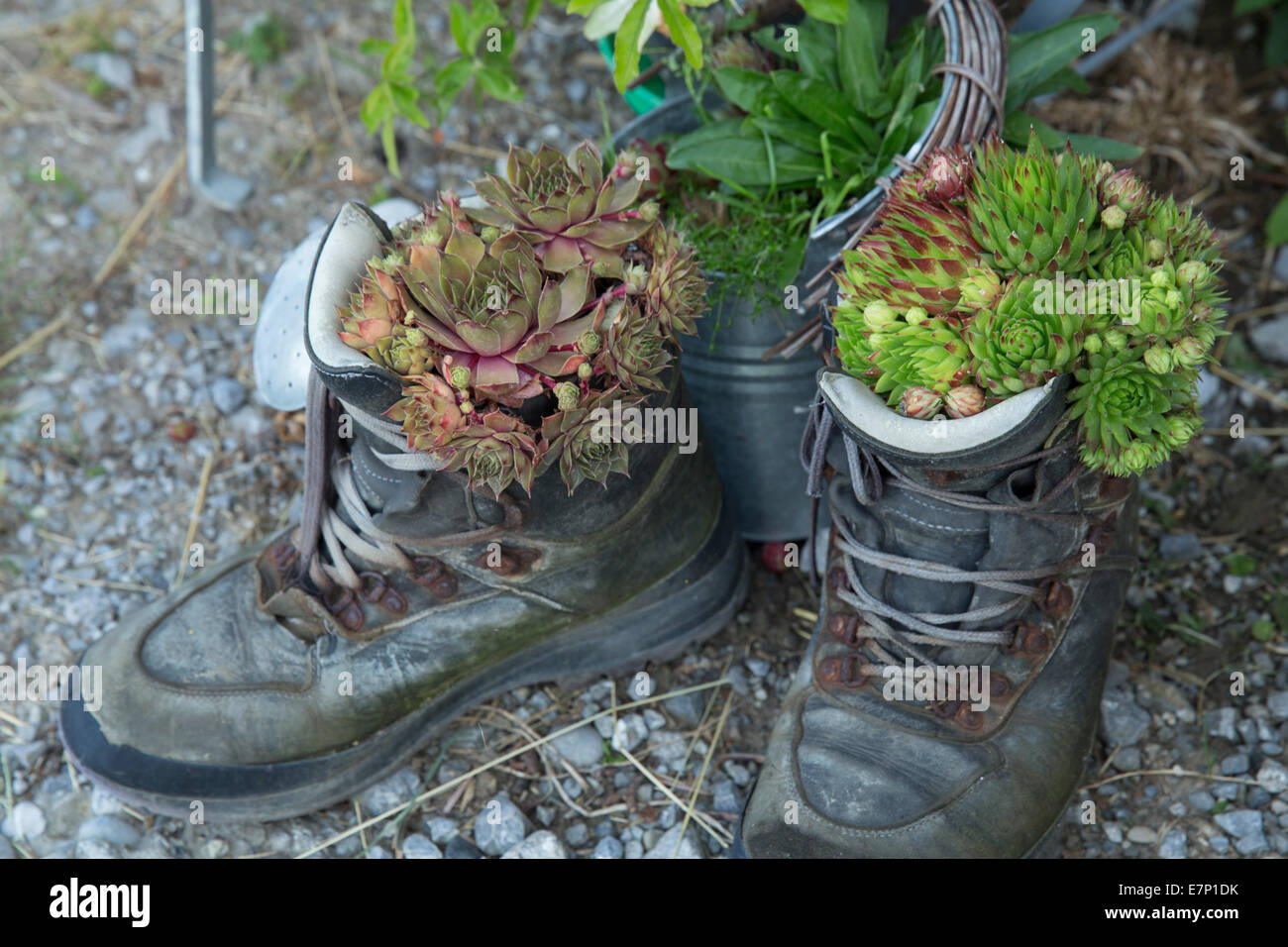 Shoes, traveling shoes, footpath, walking, hiking, flower, flowers, Switzerland, Europe, - Stock Image