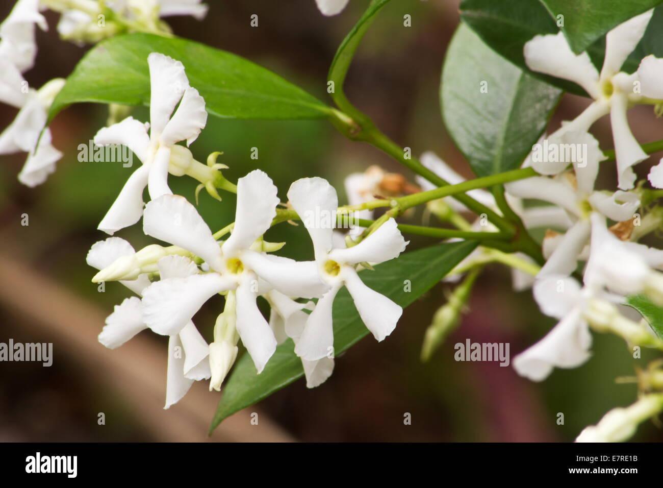 Star Jasmine Trachelospermum Jasminoides Blossoms Stock Photo