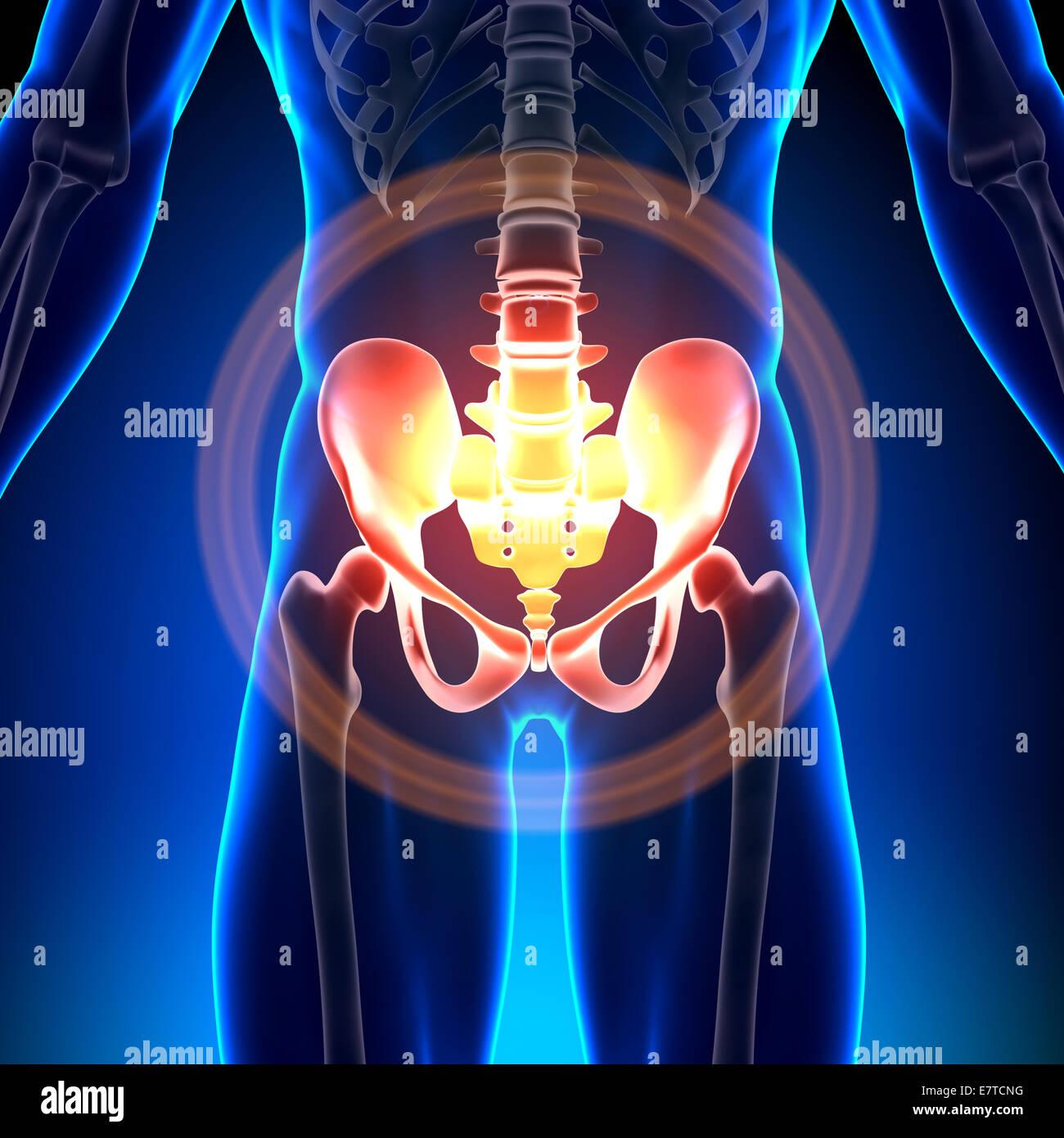 Hip / Sacrum / Pubis / Ischium / Ilium - Anatomy Bones Stock Photo ...