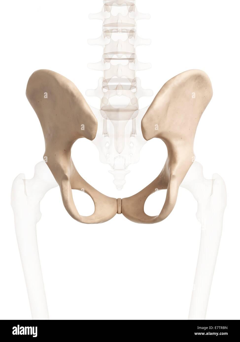 Human Hip Bone Computer Artwork Stock Photo 73689273 Alamy